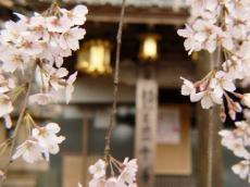 千手院夜桜17