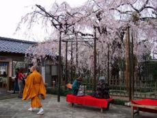千手院夜桜19