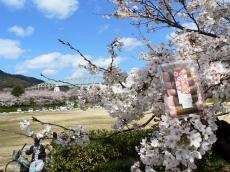 台場公園の桜餅