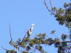 松江城の鳥