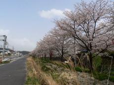 桜 三刀屋