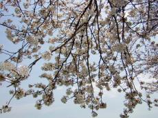 法勝寺の桜2