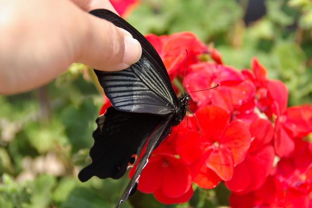 和風柄の蝶々