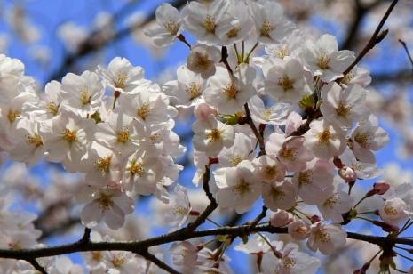 木次の桜1