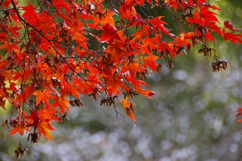 鰐淵寺 紅葉と桜