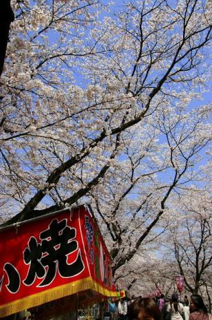 木次の桜2