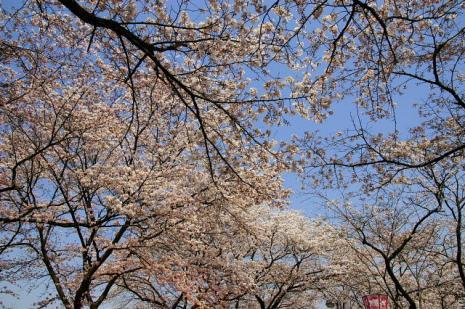 木次の桜3