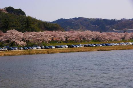 木次の桜4