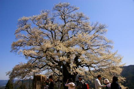 だいご桜5