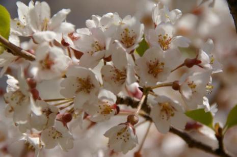 がいせん桜8