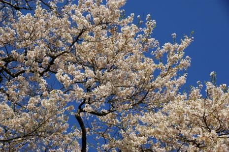 だいご桜6