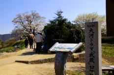 だいご桜4