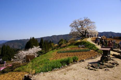 だいご桜8