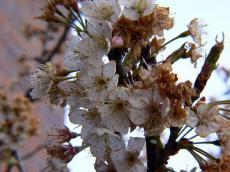枯れかけた桜