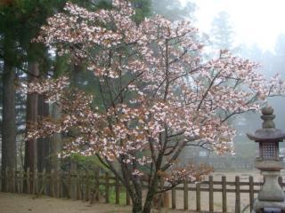 koyasan-sakura-n.jpg