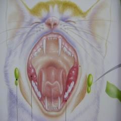 口内炎 猫エイズ