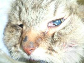 猫の歯槽膿漏術前