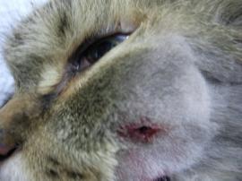 猫の歯槽膿漏 術前2