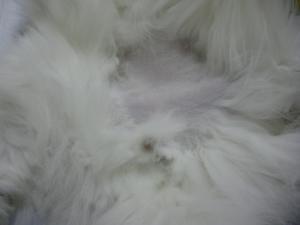猫の潜在精巣 術前