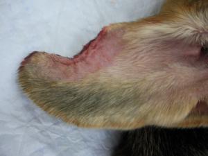 耳介部の腺癌術後 2