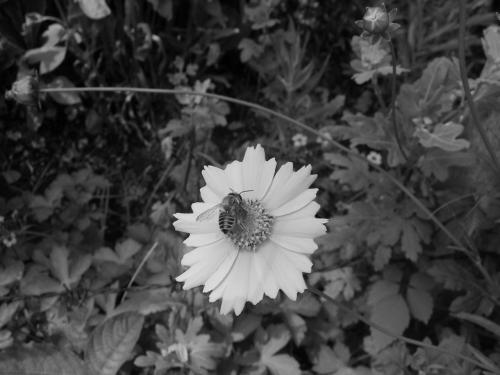 ミツバチの白黒画像