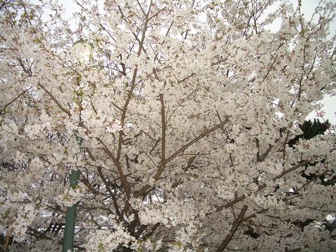 西公園の桜2