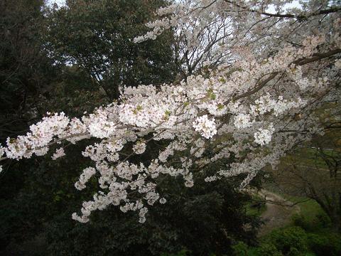 西公園の桜3