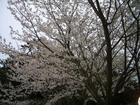 西公園の桜6