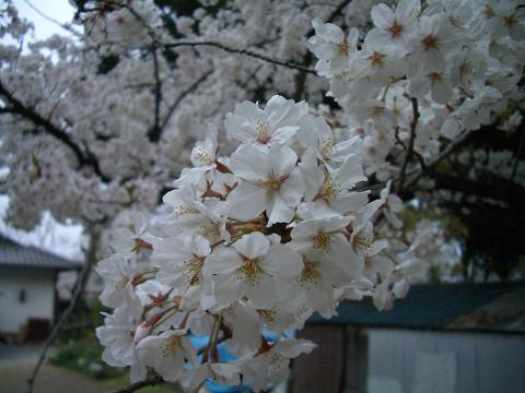 西公園の桜7