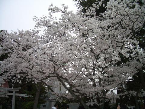 西公園の桜8