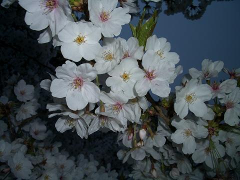 西公園の桜9