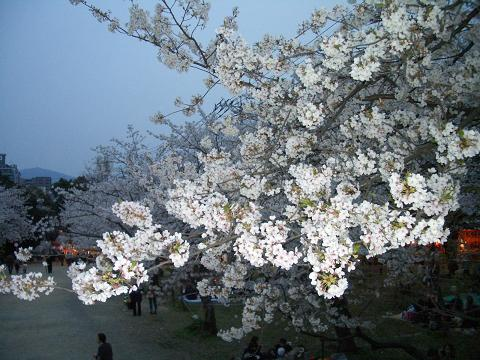 西公園の桜10