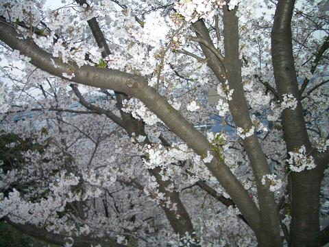 西公園の桜11
