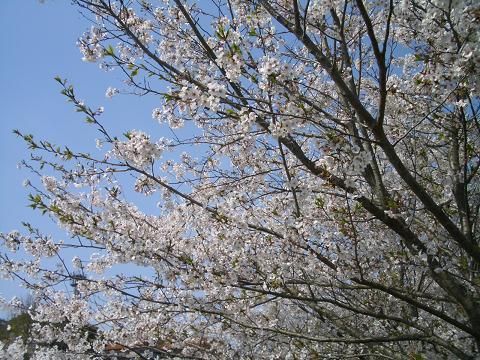 桜!まんかい♪