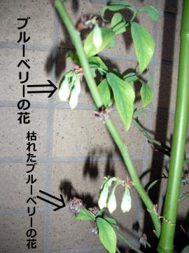 ウチのブルーベリーの花