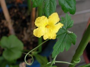9月23日のゴーヤの花
