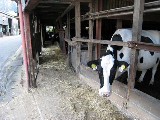 2008/10しおのえふじかわ牧場牛2