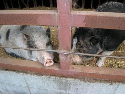 2008/10しおのえふじかわ牧場豚