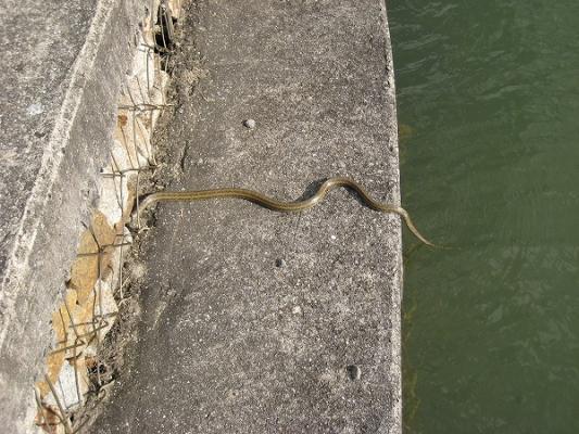 2008/10/27府中湖カヌー漕艇場ののヘビ