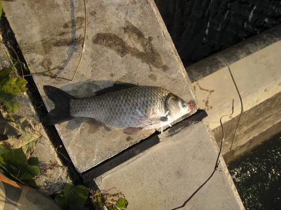 2008/1201北條池からの流れ込みヘラ