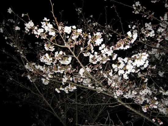 2009/04/01府中湖桜