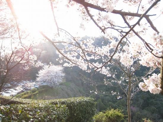 2009/04/06紫雲出山の桜2