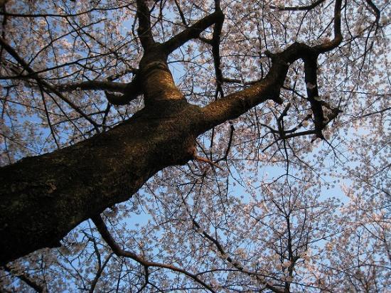 2009/04/06紫雲出山の桜3