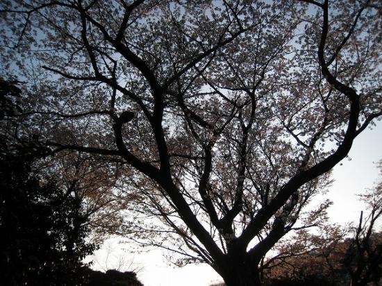 2009/04/06紫雲出山の桜4