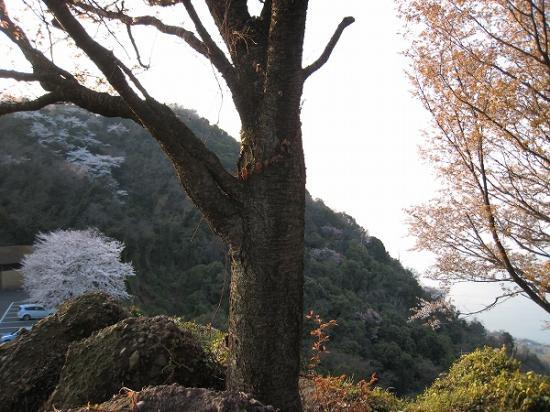 2009/04/06紫雲出山の桜6