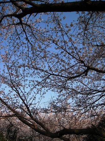 2009/04/06紫雲出山の桜7