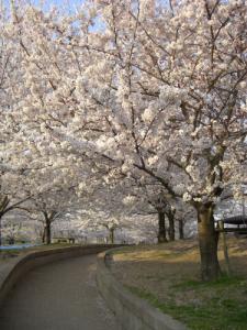Sakura2008_1.jpg
