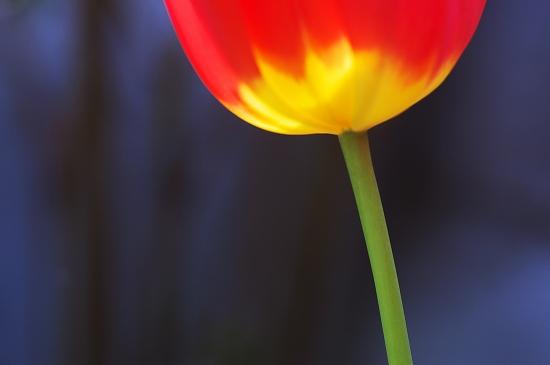 チューリップ茎