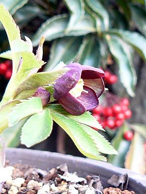 マリポサ原種5