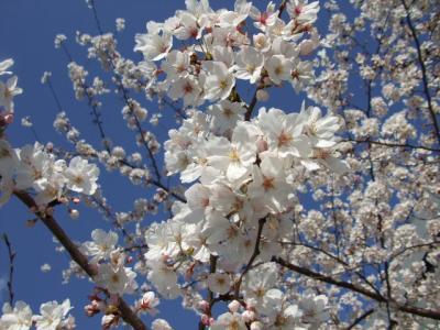 2008.桜と純米大吟醸